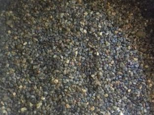 Channel seed for sale in Irupalai Jaffna