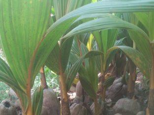 செவ்விளனீர் பிள்ளை விற்பனைக்குண்டு