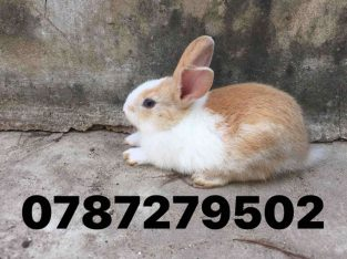 Rabbit for sale in Manipay