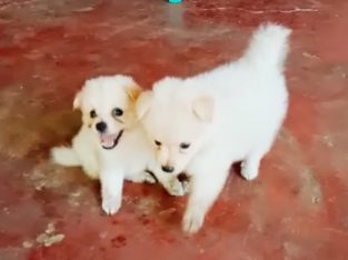 Pommerian dog