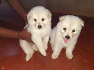 Pomeranian Puppies for sale in Jaffna