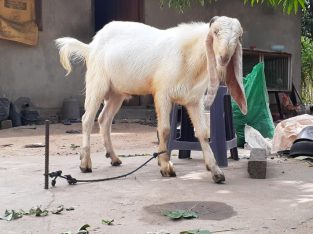Goat for sale in Mannar