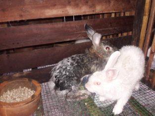 Rabbit for sale in Chavakachcheri