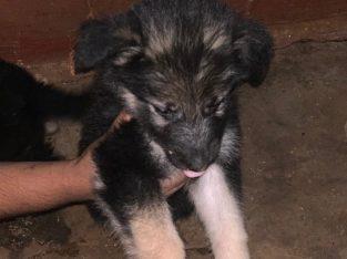 Male puppy German shepherd for sale