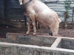 Male goat for sale – good deal in jaffna -manippay
