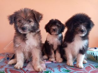 Terrior puppy for sale vaccine given