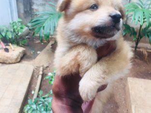 Pommerian dog for sale
