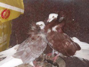 Jacobian breeding pair for sale – jaffna