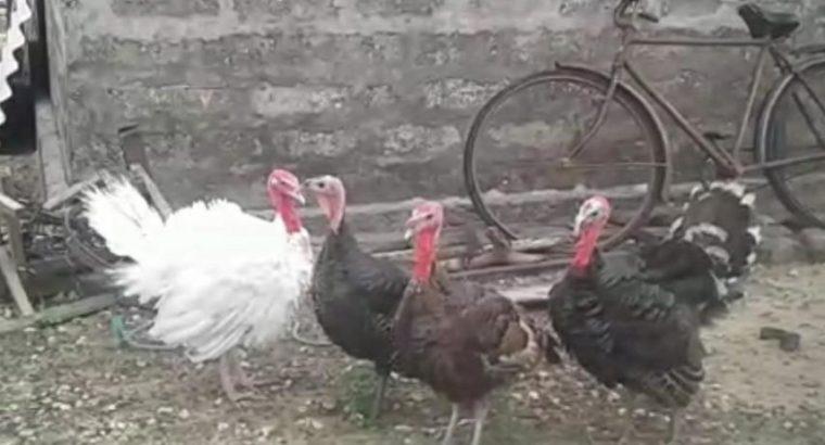 Vāṉkōḻi cēval Turkey Rooster for sale in Velanai
