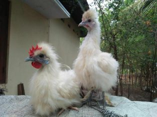 Silky chicks for sale in Velanai