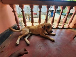 labrador male dog for sale 1 year