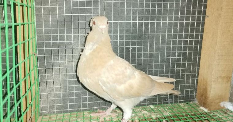 Itali owl young for sale – jaffna