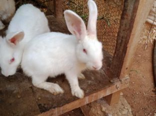 Rabbits pair for sale White color
