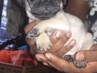 pug male puppy for sale 45days vavuniya