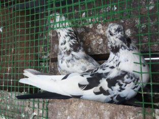 Riser pigeon for sale in Kokuvil