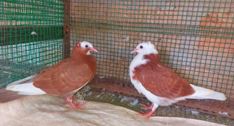 A pair of chicks for sale in MATHAGAL