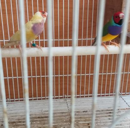 Breading pair goldijan finch's and cage for sales