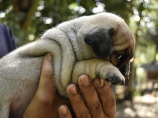 Pug Male puppy fo sale 2 male puppy available