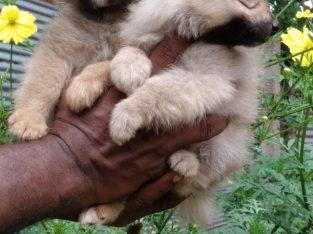 Lion pommerian dog for sale best deal In URUMPIRAI