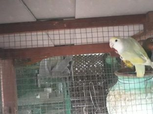 pets farm for sale java & afficran lovebirds