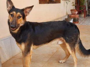 For sale German shepherd Bi Colour Male Dog