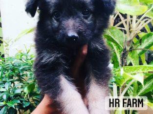German sheped puppy available Vavuniya