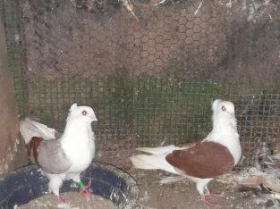German owl breeding pair for sale in-jaffna