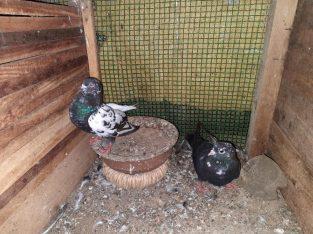 Black pakistan egg pair for sale good price