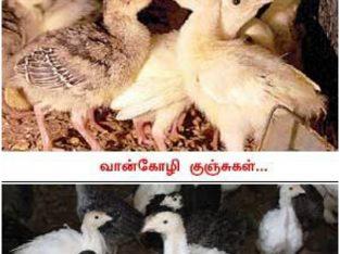 Turkey chicks for sale Nelliady